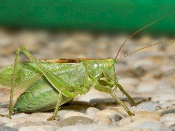 KONIK POLNY, ZWIERZĘTA, ŁĄKA, MAJ - KONIK POLNY, ZWIERZĘTA, ŁĄKA, MAJ. Zielony owad na białym tle.