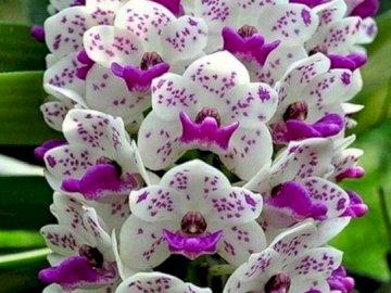 Orquídea. - Puzzle. Flores: Orquídea. A cerca de una flor morada con Hulda Klager Lilac Gardens en el fondo.