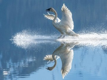 Schwanenvogel - ptak łabędź