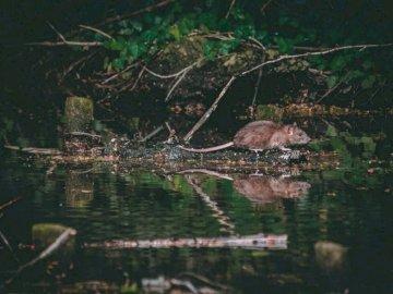 Wyszedłem na mój pierwszy spacer - Szczur w pobliżu akwenu. Reading, Wielka Brytania.