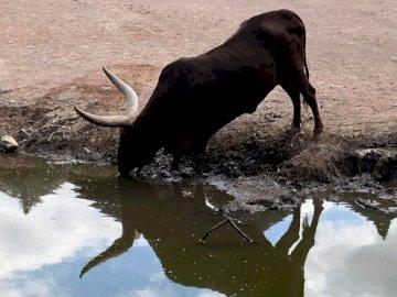 millajade - bison pairidaisa para una lección. Un perro bebiendo agua de una vaca.