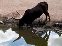 Millajade - Bison Pairidaisa für eine Lektion. Ein Hund, der Wasser von einer Kuh trinkt.