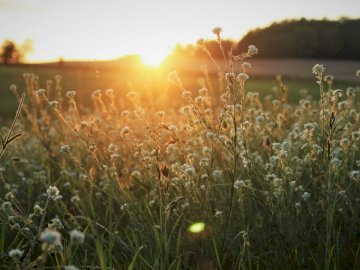 Magic is happening. - White flowers outdoors during sunset. A plant in a field.