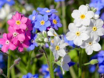 nots - Three colors Forget-Me-Nots. A close up of a flower. Arrange the picture with forget-me-nots. A clos