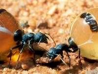 Méz hangya