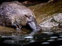 Schnabeltier - Das erstaunlichste Tier in Australien. Ein Vogel, der im Wasser schwimmt.