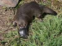 Schnabeltier - Das erstaunlichste Tier in Australien. Ein Bär, der im Gras steht.
