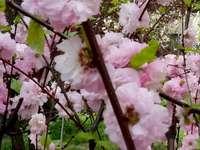 Paradise apple tree
