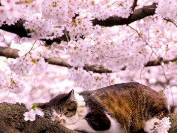 Marie-Do - pink flowers of Japan in the heart of spring. A cat lying on the ground.