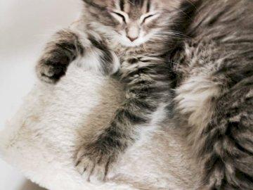 Chaton sibérien - Kitty Poppy. Chat sibérien. Un chat gisant sur le sol.