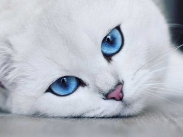 white kitty - white fluffy cat under the colorful blanket. A close up of a cat looking at the camera.