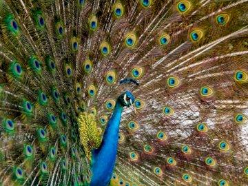 Männlicher Pfau - Blaue und braune Pfauenfeder. Maracay, Venezuela. Ein bunter Vogel, der auf der Seite steht.