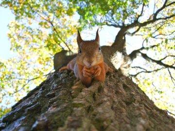 Zdjęcie: Kylli Kittus, - Brown wiewiórka na zielonym liściastym drzewie. Tallinn. Wiewiórka stojący na gałęzi drzewa.
