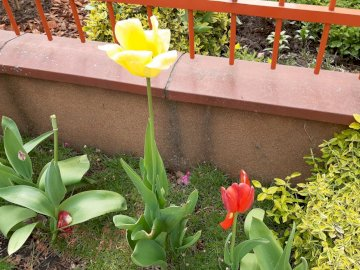 przekwitłe tulipany - przekwitłe tulipany posezonowe. Wazon z kwiatami siedzącymi na szczycie zielonej rośliny w ogrodz