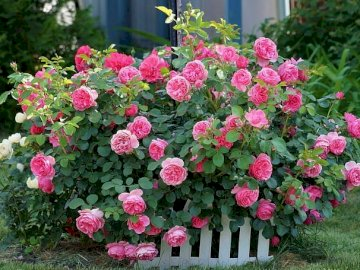 Krzak Róży - Krzak Róży Różowej,Płotek. Różowy kwiat jest w ogrodzie.