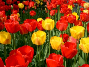 Colorful tulips - Colorful tulips. A red vase filled with flowers.