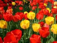 Tulipas coloridas - Tulipas coloridas. Um vaso vermelho cheio de flores.