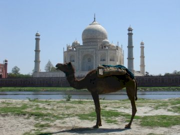 das Kamel des Taj Mahal - das Kamel des Taj Mahal. Eine Person, die ein Pferd vor Taj Mahal reitet.
