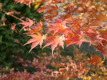 Autumn leaves - Autumn leaves shimmering red. A plant growing in a tree.