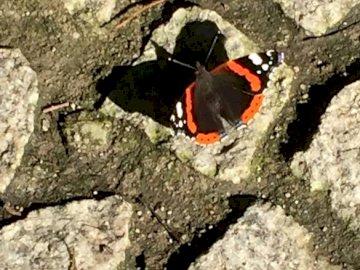 Soy una mariposa - descanso de mariposa, hermosos colores. A cerca de una roca.