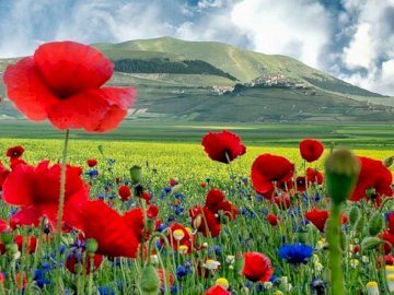 Landscape. - Landscape with wild poppies and cornflowers. A group of colorful flowers.