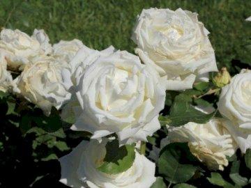 Róże Jana Pawła II - Róża wielokwiatowa Jana Pawła II. Zamknięty kwiat.