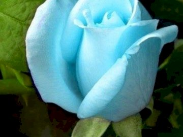 Rose............... - Rose ........................ Geschlossene Blume.