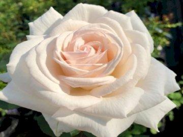 A rose. - Rose New Dawn. A close up of a rose.