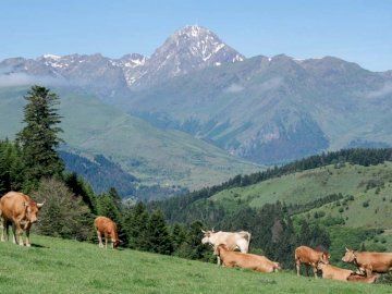 Puzzle test - alpine landscape cows mountain. A group of cattle grazing on a lush green field.