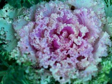 Fleur de chou ornementale - Fleur rose dans l'objectif macro. Londres. Un gros plan d'une fleur rose avec des fe
