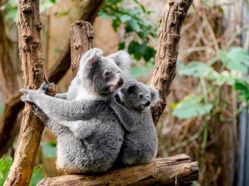 en Australie - ils sont tous les deux sur une branche. Un koala assis sur une branche.