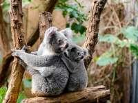 en Australia - ambos están en una rama. Un oso koala sentado en una rama.