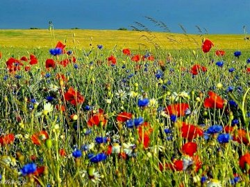 spring meadow - May meadow, grass interspersed with cornflower, poppy and chamomile flowers; in the background field