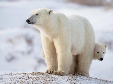 Polar bear - Puzzle depict a polar bear. Have fun laying!. A polar bear in the snow.