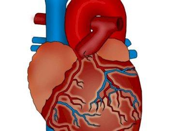 LE COEUR - Le cœur est le principal organe du système circulatoire. Un gros plan d'un jouet.