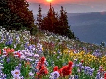 Meadow in the mountains. - On a colorful and flowery meadow in the mountains. A close up of a flower garden.