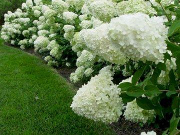 Jardin d'hortensias. - Puzzle: jardin d'hortensias. Un gros plan d'un jardin fleuri.