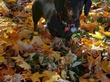Dachshund in the middle of the leaves - A beautiful dachshund in the middle of the leaves. A dog sitting in the grass.