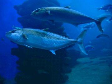 Maquereau dans l'eau - C'est du maquereau. Veuillez l'organiser. Un poisson nageant sous l'eau.