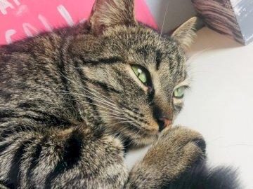 chat couché - chat couché! sur TheShibaCat instagram. Un chat qui est couché et regarde la caméra.