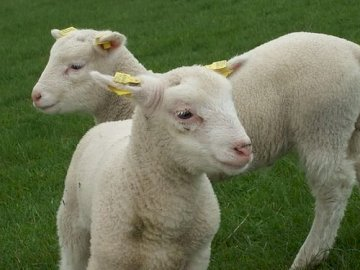 rompecabezas de ovejas - Puzzle de 4 piezas - oveja. Un grupo de ovejas de pie en la cima de un campo cubierto de hierba.