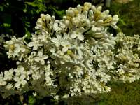 Common lilac - White lilac. A close up of a flower.