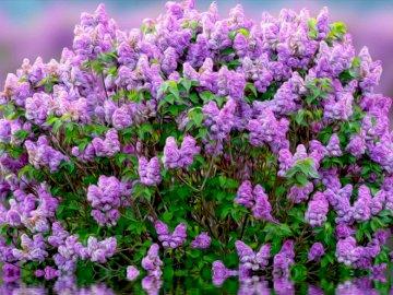 Arbuste lilas - Magnifique buisson de lilas parfumé de printemps. Un gros plan d'une fleur.