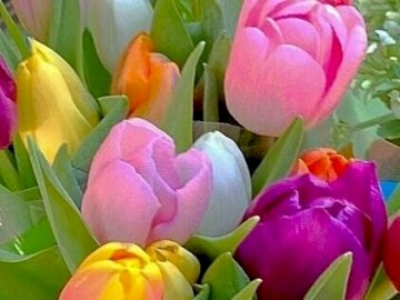 A bouquet of tulips - A beautiful bouquet of tulips. A close up of a flower.