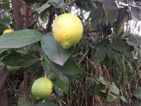 Julia Lemon Tree - This photo was taken by Julia Tarifa of Sala celeste. A fruit hanging from a tree.