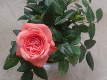 Pinke Rose - Rose. Eine Rose aus meinem Garten.