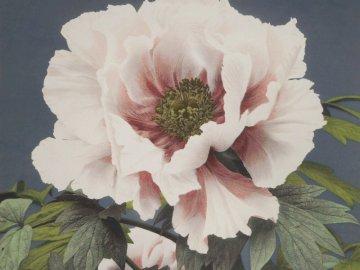 Różowa peonia - Różowa peonia, peonie piękne kwiaty.