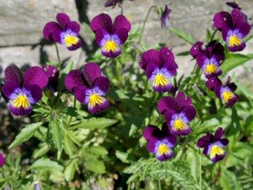 Stiefmütterchen im Garten - Lila Stiefmütterchen im Garten.