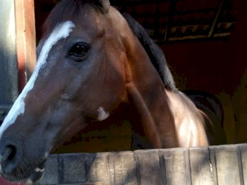 Koń na koniu - Koń w zatoce jeździeckiej gwiazdy. Brązowy koń stojący na szczycie drewnianego ogrodzenia.
