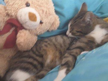 Chatte avec ours en peluche - L'ours repose sur un minou. Un ours allongé sur un lit.